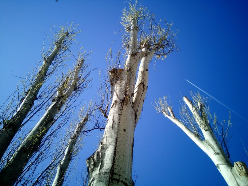 Topping trees including a poplar against blue sky
