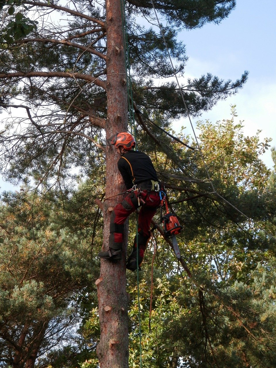 Vancouver Tree Removal Services while climbing tree with spurs and chainsaw