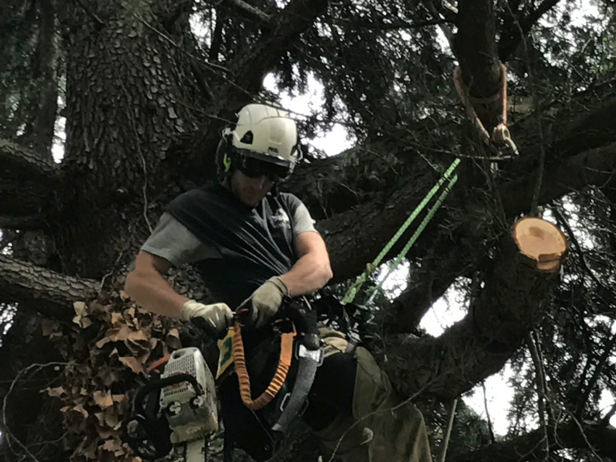 Pruning methods include branch removal for utility clearance