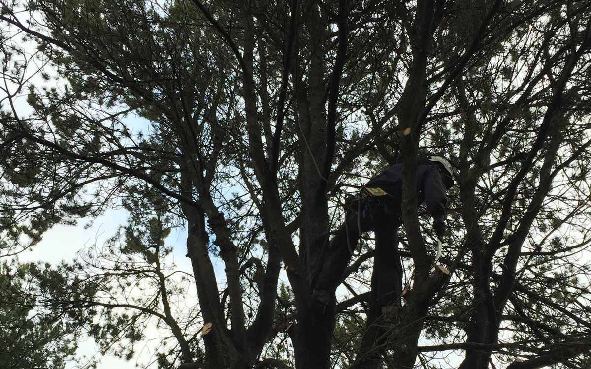 Pruning methods include deadwood removal and crown cleaning