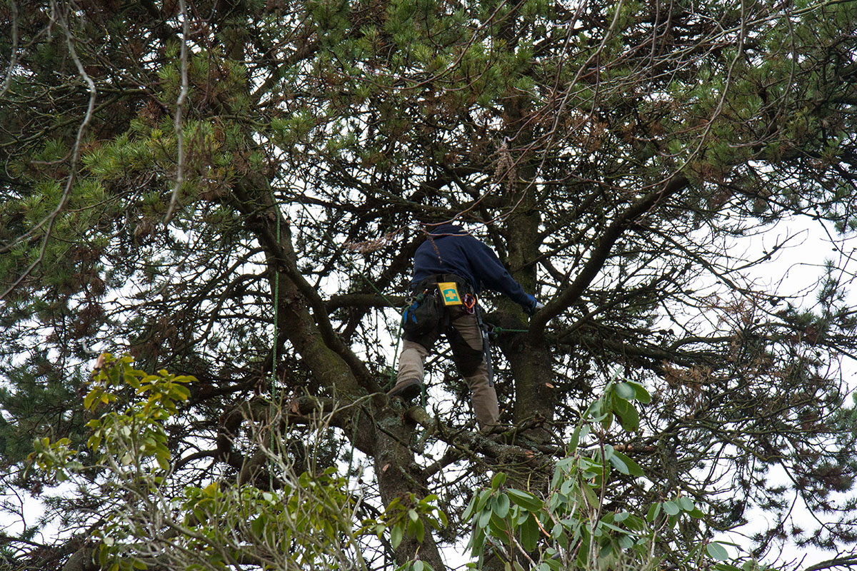 Pruning Methods include crown cleaning
